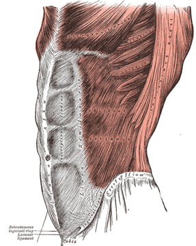 Abdominal_muscles